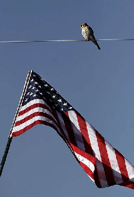 American Kestrel and United States Flag